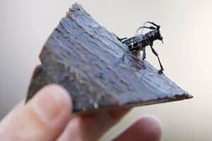si-longhorned-beetle-604621
