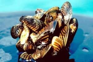 si-zebramussels-6057166