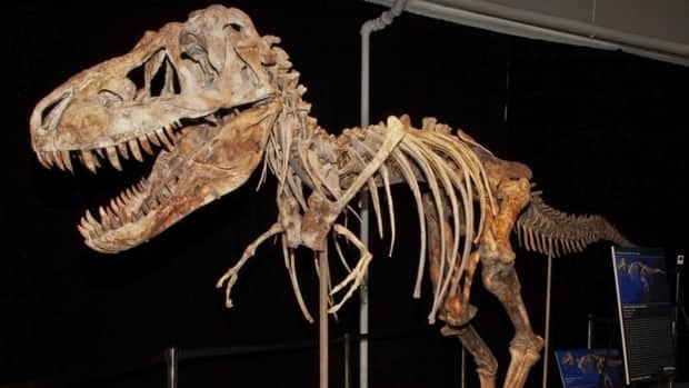 The skeleton of a Tyrannosaurus bataar dinosaur that was brought into the U.S. illegally in 2010 and sold at auction last month. A judge has ordered that the fossil be returned to Mongolia.