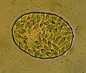 algae---internal
