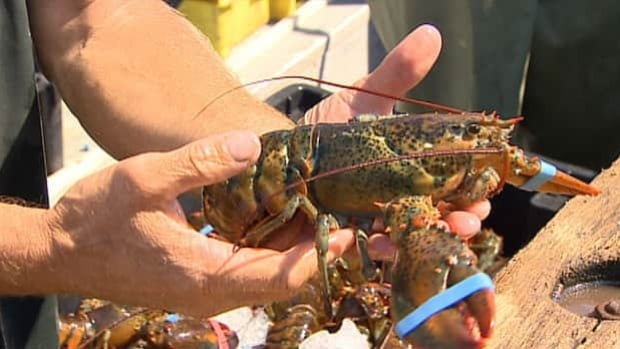 Cape Breton fishermen say thousands of lobsters have died in the warmer ocean waters this year.
