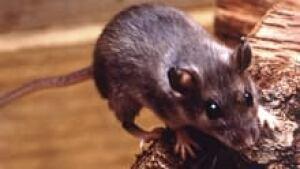 si-hantavirus-deer-mouse-22