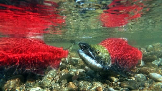 Officials have stepped up enforcement to catch salmon poachers on the Fraser River.