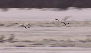 swans flight swan haven