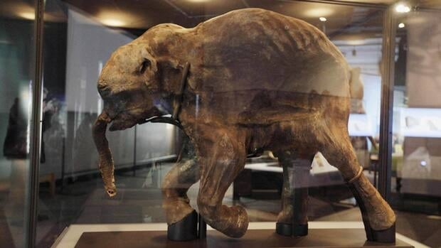 The most complete woolly mammoth specimen ever found, shown here in March 2010, at The Field Museum in Chicago. On Tuesday a Russian university said that an international team of scientists have discovered well-preserved frozen woolly mammoth fragments deep in Siberia that may contain living cells.