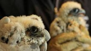 ii-falcon-chicks0220