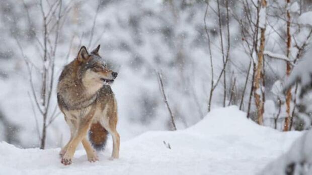hi-wolves