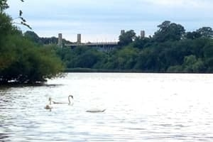 swans-300