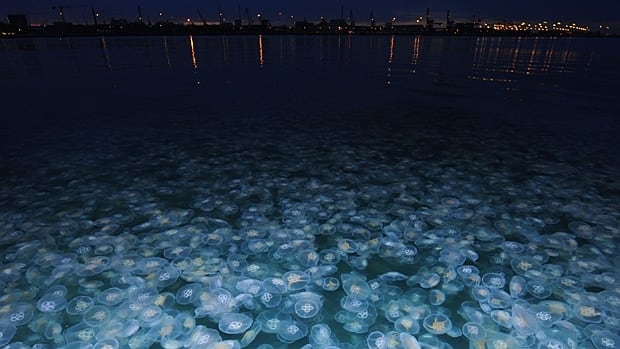 A bloom of moon jellyfish near Denmark is lit up at night.  Jellyfish can make themselves a nuisance by stinging swimmers, clogging the intake pipes of power plants or interfering with fishing.