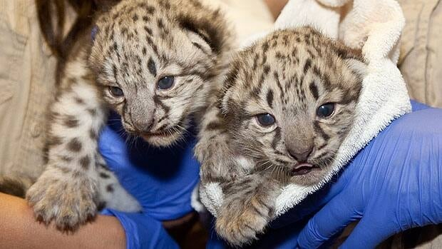 Two snow leopard cubs are healthy and growing at the Assiniboine Park Zoo in Winnipeg.