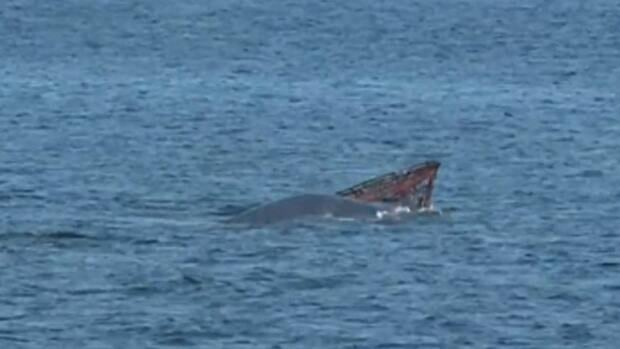 Marine mammal experts are trying to help this fin whale, spotted yesterday on the St. Lawrence River near Tadoussac, Que., with crab-fishing gear caught on her head.