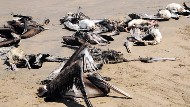 The Peruvian government is investigating the deaths of more than 1,000 pelicans and about 800 dolphins along a 70-kilometre stretch of the shore between the northern provinces of Lambayeque and Piura.