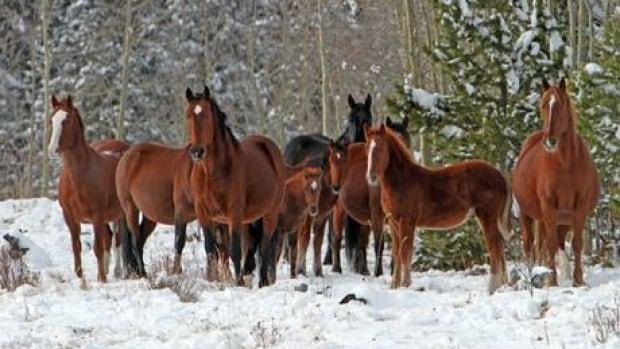 hi-wild-horses-852-6col