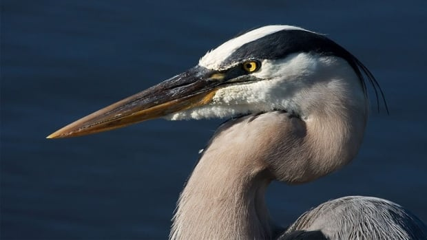 Great blue herons returned to Stanley Park in February.