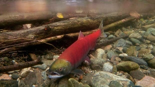 Ten million sockeye were predicted, but only about 1.5 million entered the Fraser River in 2009.