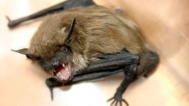 Health officials say a number of bats test positive for rabies in Alberta each year, but this is the first one in the Lethbridge area in many years.