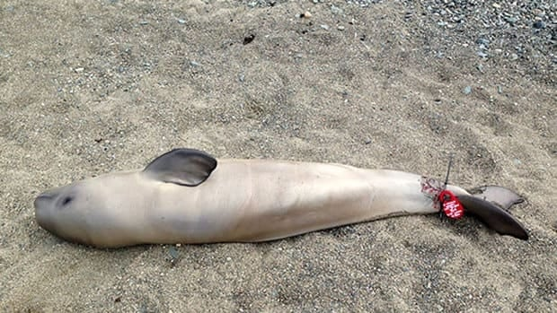 This newborn beluga was one of two found dead near Rimouski in July.