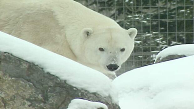 A polar bear attacked and killed a Siberian husky in Arviat this week.