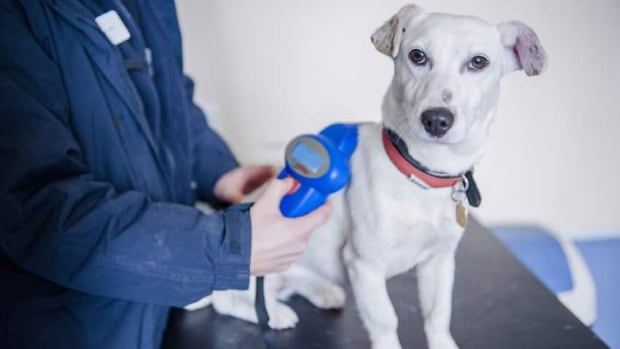 A  Jack Russell terrier is scanned for a microchip.