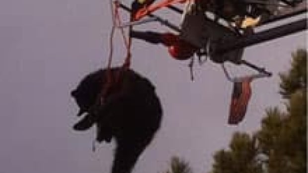 A bear is rescued from a tree after being tranquilized in Colorado Springs, Colo. Wildlife officers and firefighters put a harness around the bear, then lowered it to the ground as it dangled from the ladder.