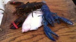 ns-blue-regular-lobster-220