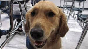 hi-golden-retriever-852-392-4col