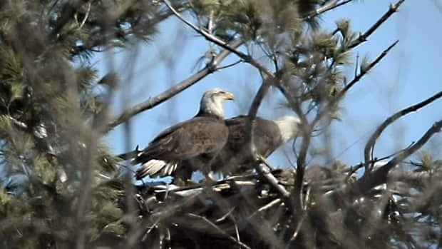 A pair of bald eagles have made Cootes Paradise their home.