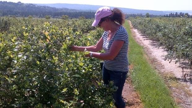 Madeleine Céré, the co-owner of Les Petits Fruits de Pré-d'en-Haut, looks at her blueberries. The u-pick discovered spotted wing drosophila last year.
