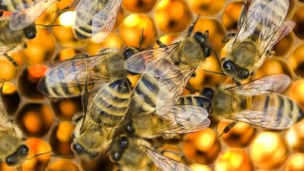 Honeybees infested with a fly parasite abandon their hives and die after a bout of disoriented  'zombie'-like behavior, according to research from San Francisco State University.