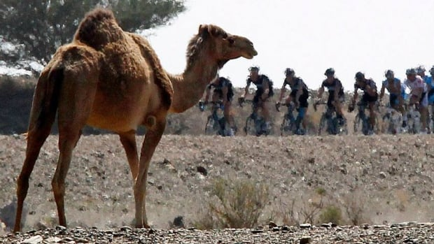 Across the Middle East, camel products including milk are popular and the animals are often kept for racing and other purposes.
