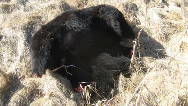 A bear carcass found near the highway in northwestrn Ontario was missing its head and paws.