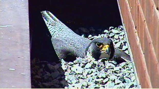 Madame X seems to be incubating her first egg around 1 p.m. Wednesday, as seen on the Falconwatch webcam.