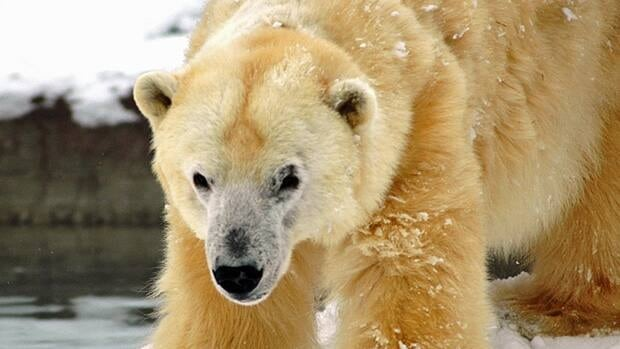 Barle was born in the wild in Manitoba and captured as a cub. It spent most of its life as a performing circus bear.
