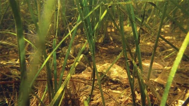 Parks Canada said the eelgrass is responding well to transplants, but the area that the plants cover is still only a fraction of the size it was 25 years ago.