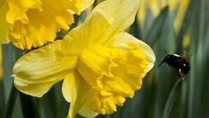 mi-ns-daffodil