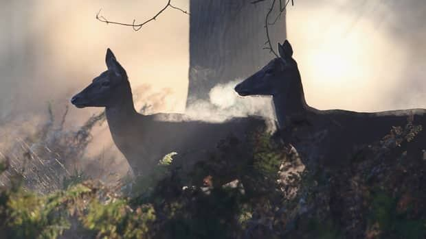 The District of Invermere has a permit to kill up to 100 urban deer. As of Sunday 16 have been euthanized, and the permit expires Mar. 15. Invermere is the third Kootenay community to cull problem urban deer over the past six months.