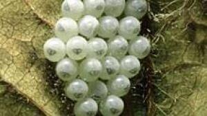 220-stink-bug-eggs-ii
