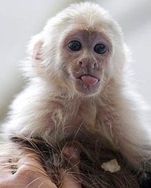 si-bieber-monkey-cp-04227912