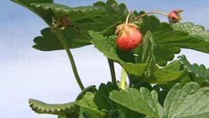 ns-hi-strawberry-852
