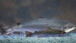 pe-hi-aquabounty-fish