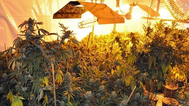 """A total of 564 marijuana plans in various stages of growth and """"a quantity of processed marijuana had been growing at a central Mountain home that had been completely converted into a grow-op, police say."""