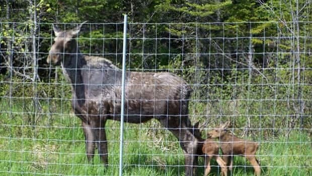 Moose Fences Are Reducing Collisions New Brunswick Cbc