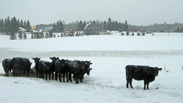 Black Angus beef cattle are popping up on acreages of land around northeastern Ontario as business tries to grow the grass-fed beef industry in the region.
