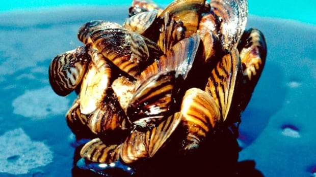 Default Caption Zebra mussels multiply so quickly that they can sink navigational bouys.