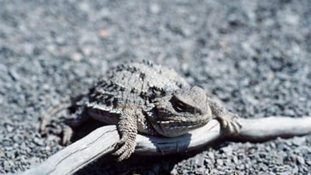 Scientists are looking into the habitat of the Greater Short-horned Lizard to try to remove it from the at risk list.