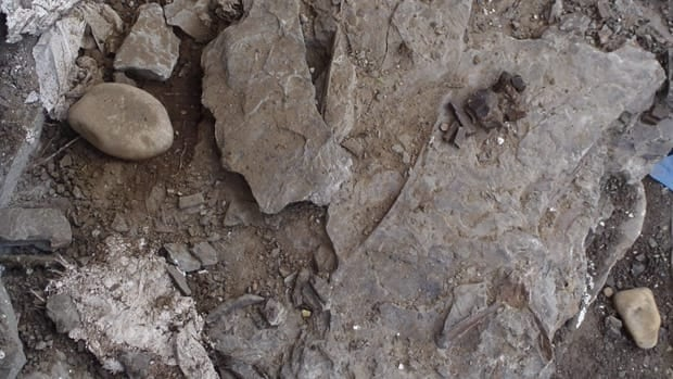 Paleontologists discovered someone had torn open the plaster they had covered the fossils with and destroyed the skeleton inside.