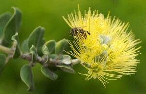 si-lehua-flower