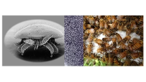 A deadly combination: from left to right, the Varroa destructor mite, particles of the deformed wing virus (DWV) and some European honeybees. Thanks to the mite's lethal way of altering and transmitting the virus, DWV has wiped out millions of wild bee colonies around the world.