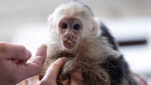 300-bieber-monkey-cp-044607