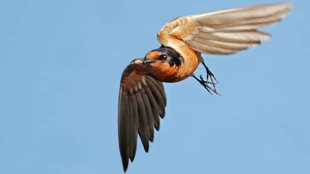 The barn swallow pupulation numbers have significantly decreased in the past 40 years.